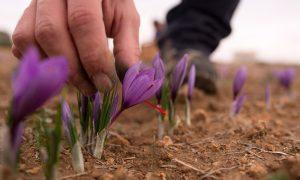 Zafferano, Coltivare zafferano, Coltivazione zafferano, come coltivare zafferano, fiori di zafferano, zafferano terreno, bulbi di zafferano